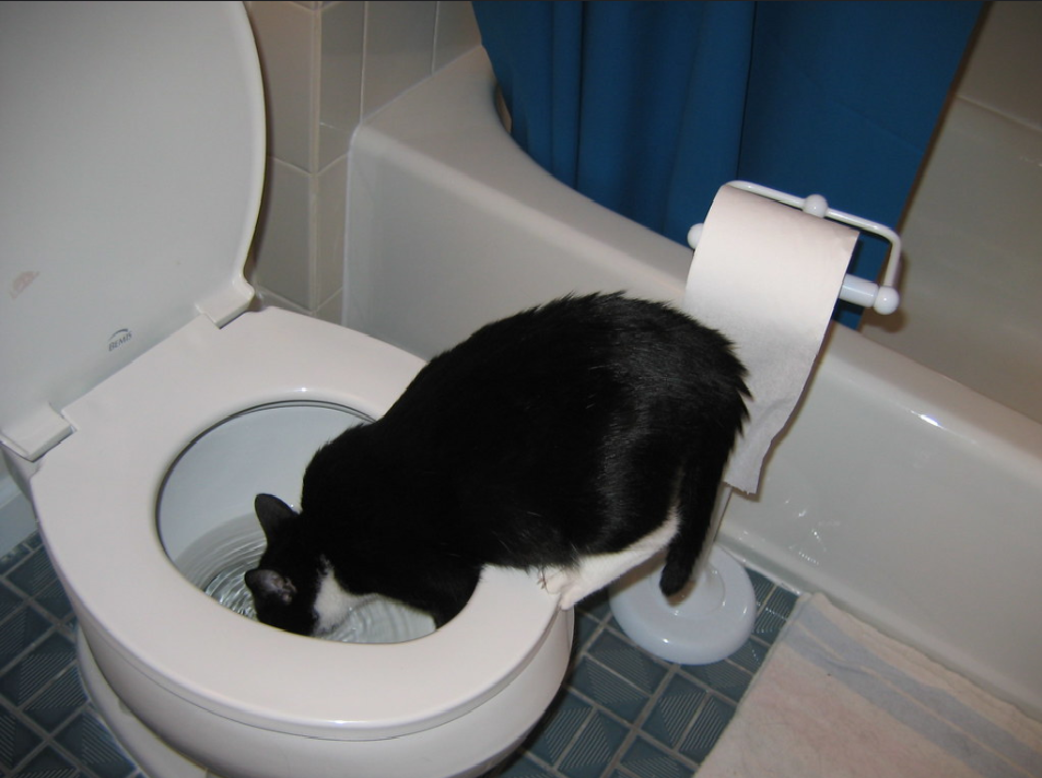 cat drnking out of toilet
