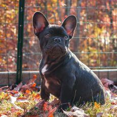 11 Fascinating Facts About French Bulldogs